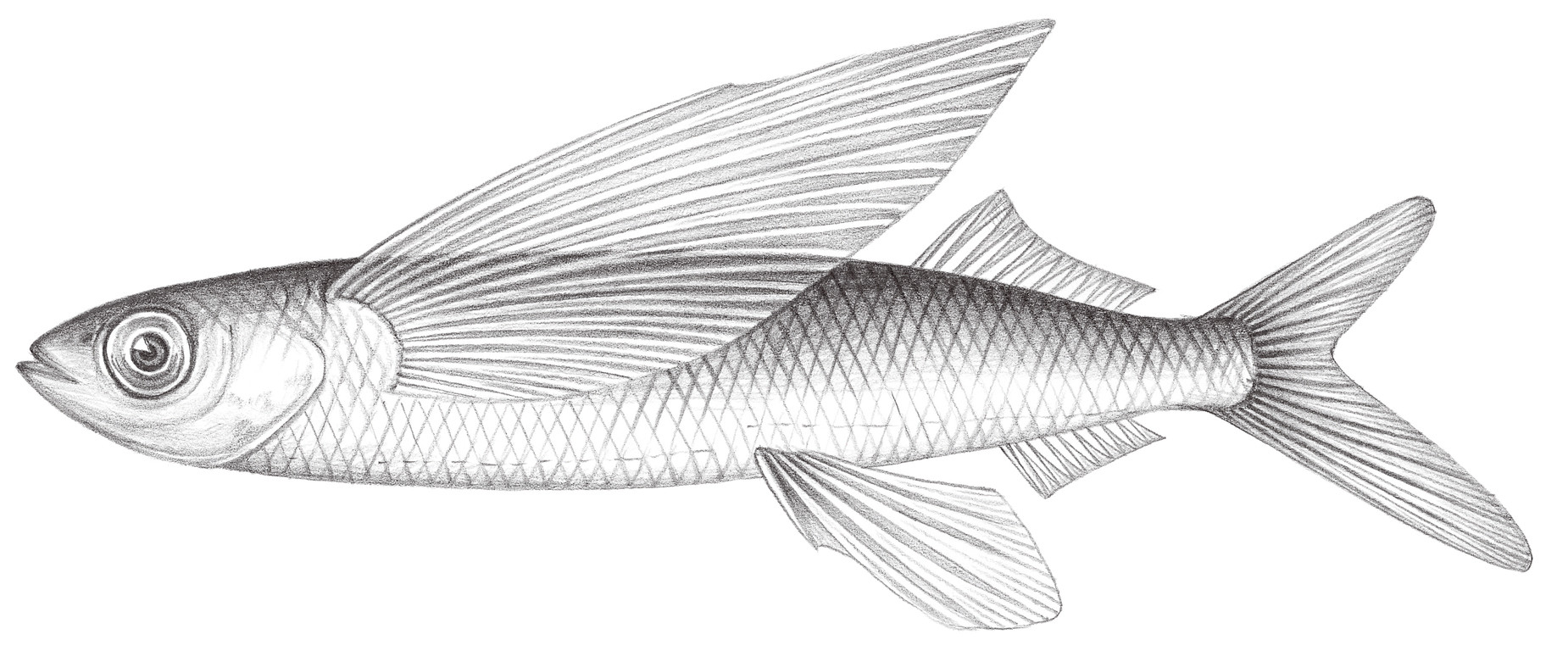715.	白鰭鬚唇飛魚 Cheilopogon unicolor (Valenciennes, 1846)