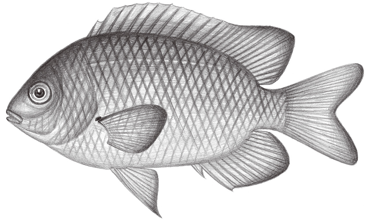 1717.	鋸雀鯛 Stegastes obreptus Whitely, 1848