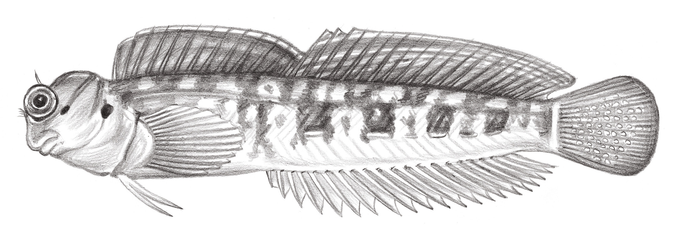 1947.	斷紋動齒鳚 Blenniella interrupta (Bleeker, 1857)
